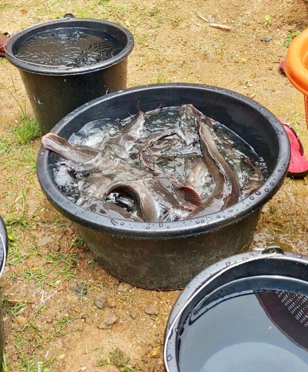 Baby catfish