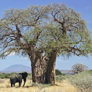 Baobab tree with an elephant