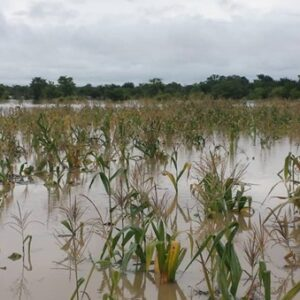 Ghana Flood Disaster - maize